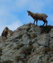 Ein Götterbot zeigt sich: Im Olymp-Nationalpark lebt die seltene Balkan-Gämse