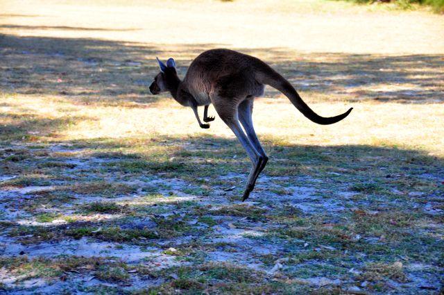 Australien hat 40 Millionen Kängurus