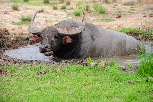 Auch Büffel sind der Drachen Beute
