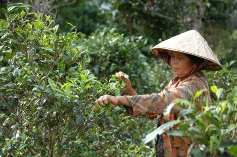 Teepflücker Laos